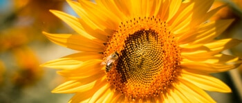 Sunflower with a bee above the why work with us tab